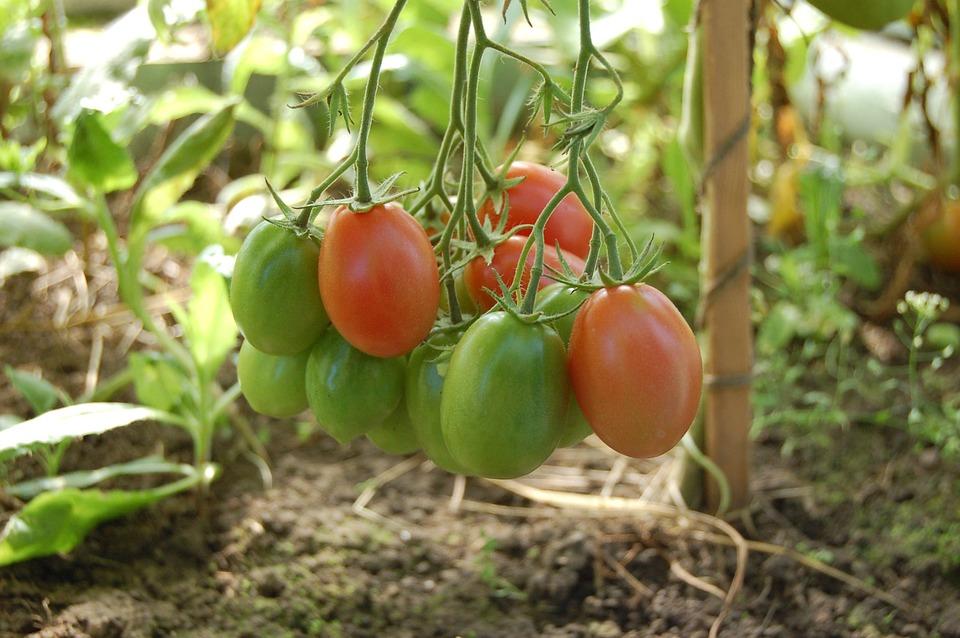 tomatoes-950723_960_720