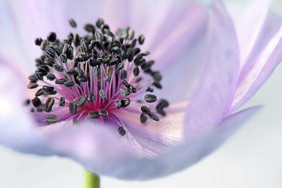 anemone-179006_960_720