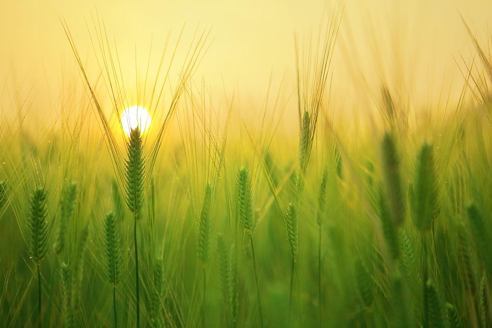 barley-field-1684052_960_720