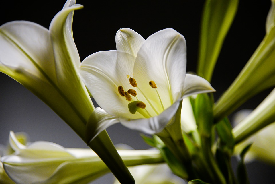 lily-6142496_960_720