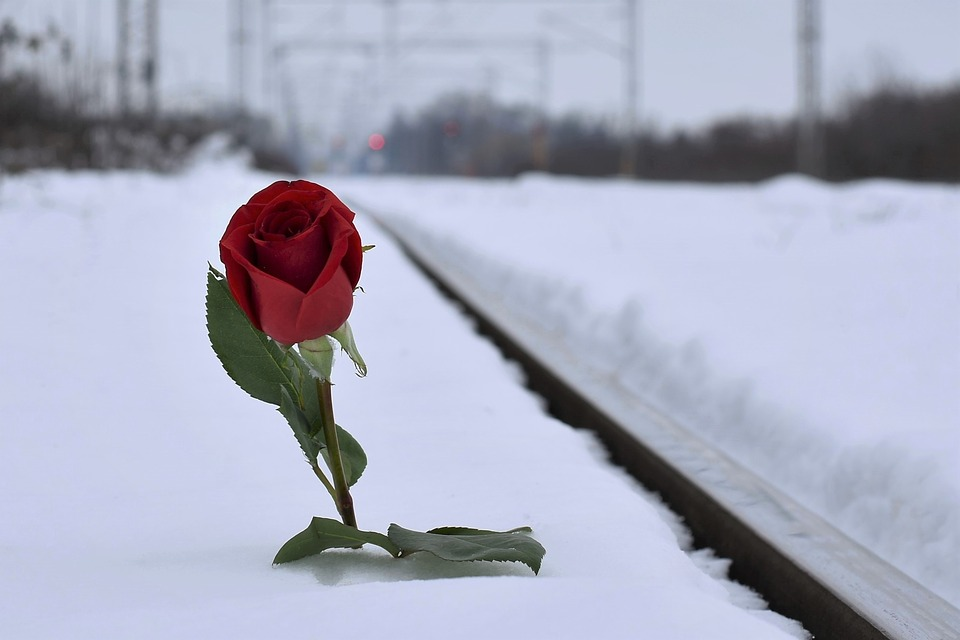 red-rose-in-snow-3928306_960_720