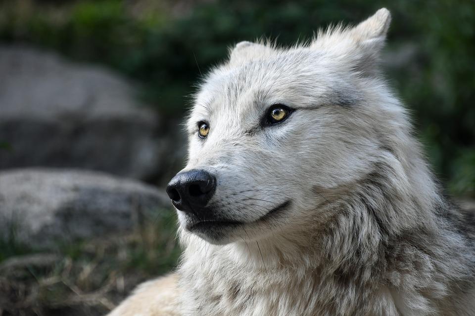 wolf-2826741_960_720