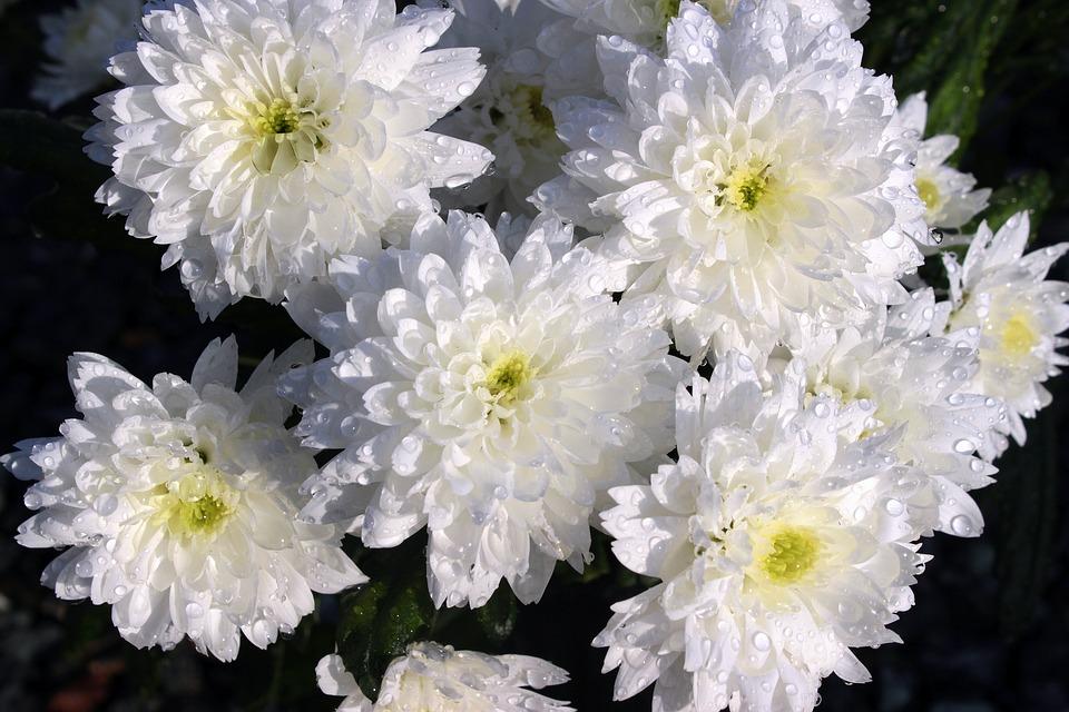 chrysanthemums-1279681_960_720