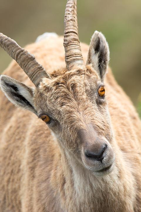 goat-2175189_960_720