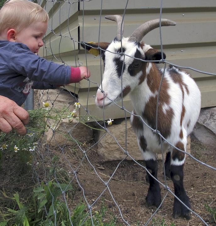 goat-2432929_960_720