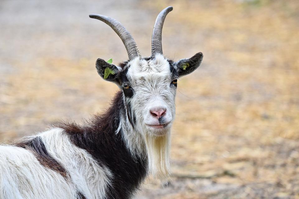 goat-3412678_960_720