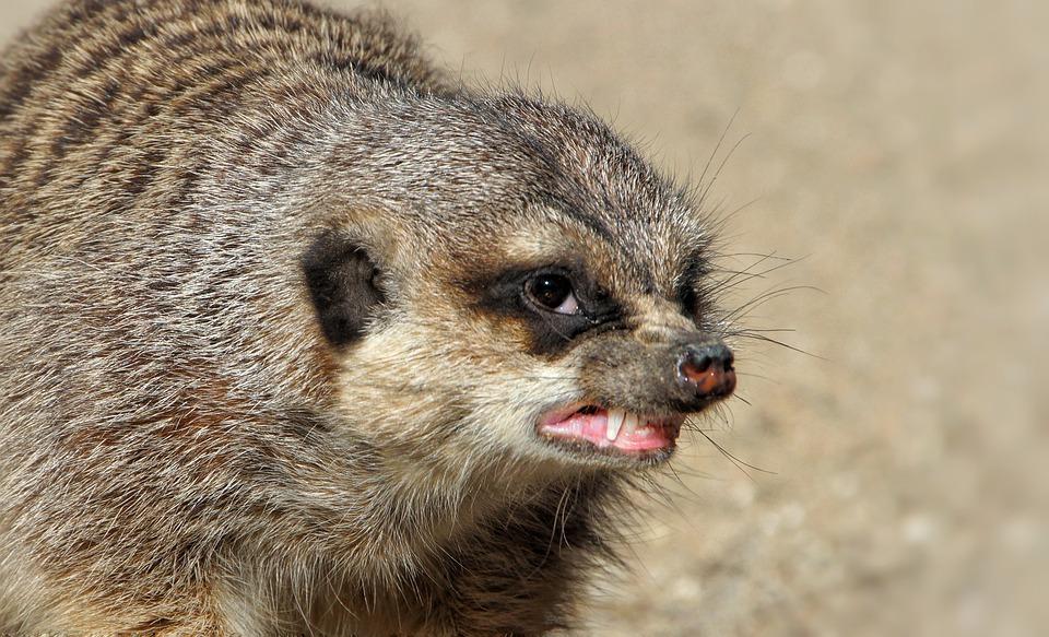 meerkat-4536159_960_720