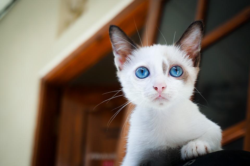 kitten-1866475_960_720